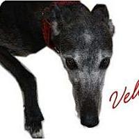Adopt A Pet :: Velvet - Fremont, OH