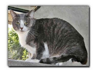 Domestic Shorthair Cat for adoption in Howell, Michigan - Gentile Mom
