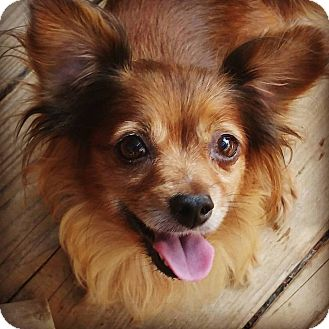 Dachshund/Chihuahua Mix Dog for adoption in Los Angeles, California - Suzy Summers
