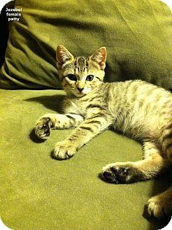Domestic Shorthair Kitten for adoption in Brightwaters,, New York - Jezebel