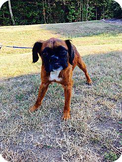 Boxer/Australian Shepherd Mix Dog for adoption in Harrisonburg, Virginia - Oskar (rbf)