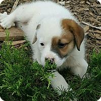 Adopt A Pet :: Dot meet me 11/11 - Manchester, CT