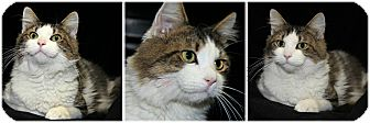 Domestic Longhair Cat for adoption in Forked River, New Jersey - Sampson