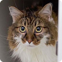 Adopt A Pet :: Barrett - Merrifield, VA
