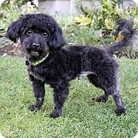 Adopt A Pet :: RYAN - Newport Beach, CA