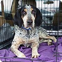 Adopt A Pet :: Alice - Monterey, VA