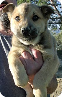 Australian Cattle Dog/Shepherd (Unknown Type) Mix Puppy for adoption in Corona, California - CHARLIE
