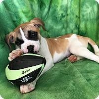Adopt A Pet :: Joey - Redding, CA