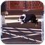 Photo 3 - Border Collie Dog for adoption in Tiffin, Ohio - Rachel - AGILITY!