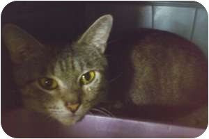 Domestic Shorthair Cat for adoption in Fort Lauderdale, Florida - Tiger Baby