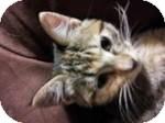 Domestic Shorthair Kitten for adoption in Clearfield, Utah - Tara