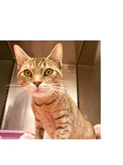 Domestic Shorthair Kitten for adoption in Maywood, New Jersey - Gherkin