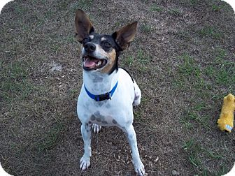 Rat Terrier Mix Dog for adoption in Tampa, Florida - Brucie