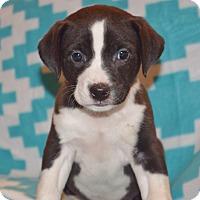 Adopt A Pet :: CALVIN - Nashville, TN