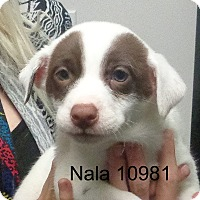 Adopt A Pet :: Nala - Greencastle, NC