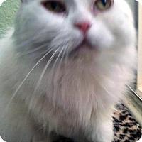 Adopt A Pet :: Snow White - Davis, CA