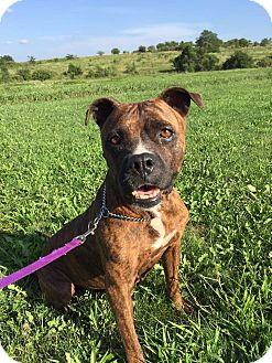 Pit Bull Terrier/Boxer Mix Dog for adoption in Maryville, Missouri - Abby