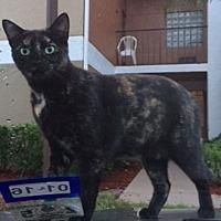 Domestic Shorthair Cat for adoption in oakland park, Florida - Poki