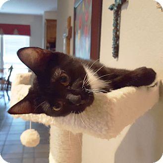 Domestic Shorthair Kitten for adoption in Arlington/Ft Worth, Texas - Ringo