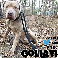 Adopt A Pet :: Goliath - Jackson, NJ