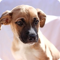 Adopt A Pet :: Tulip - Elgin, IL