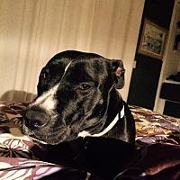 Labrador Retriever/American Pit Bull Terrier Mix Dog for adoption in Vista, California - Lilly