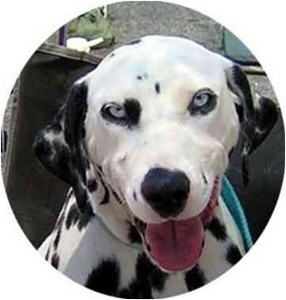 Dalmatian Dog for adoption in Mandeville Canyon, California - Sparkle