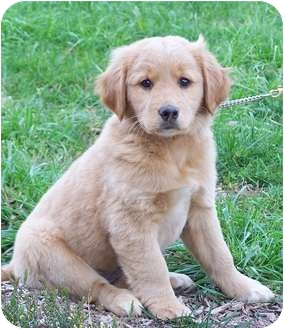 Adopt golden retriever puppy nj