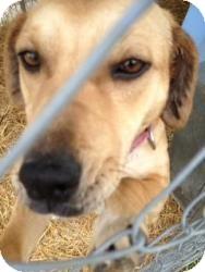 Labrador Retriever Mix Dog for adoption in Quinlan, Texas - Maddy