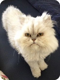 Persian Cat for adoption in Beverly Hills, California - LaBelle