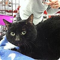 Adopt A Pet :: KiKi (4 paw declaw) - Sterling Hgts, MI