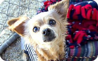 Spaniel (Unknown Type)/Chihuahua Mix Dog for adoption in North Hollywood, California - Gracie