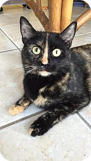 Domestic Shorthair Cat for adoption in Austintown, Ohio - Gemma