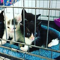 Adopt A Pet :: Roni's Kittens - Monrovia, CA