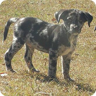 Catahoula Leopard Dog Mix Puppy for adoption in Ellaville, Georgia - Hunter (adoption pending)