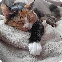 Adopt A Pet :: Meow Meow - Burlington, NC