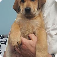 Adopt A Pet :: Lulu - St. Charles, IL