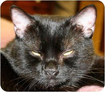 Domestic Mediumhair Cat for adoption in Naples, Florida - Wyla