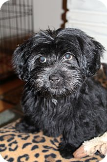 Scottie, Scottish Terrier/Shih Tzu Mix Puppy for adoption in Wytheville, Virginia - Prada