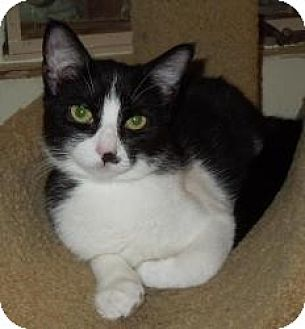 Domestic Shorthair Cat for adoption in Mission Viejo, California - Smudge
