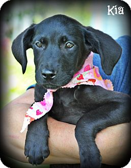 Great Dane/Labrador Retriever Mix Puppy for adoption in Cranford, New Jersey - Great Dane/Lab Mix Puppies