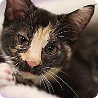 Adopt A Pet :: Brie - Alexandria, VA