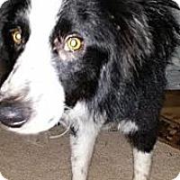 Adopt A Pet :: Chance - Puyallup, WA