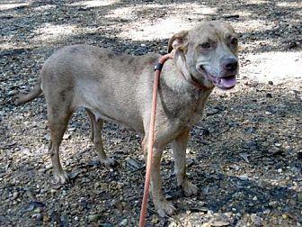 Catahoula Leopard Dog/Labrador Retriever Mix Dog for adoption in Carthage, Arkansas - Scarlet