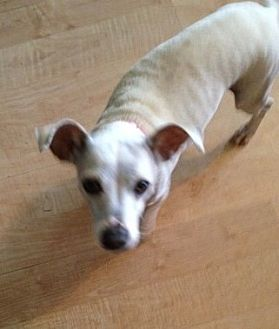 Jack Russell Terrier/Chihuahua Mix Dog for adoption in Rancho Santa Margarita, California - ZZ-Lola *courtesy post
