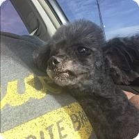 Adopt A Pet :: Gracie Poo - Blanchard, OK