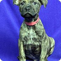 Adopt A Pet :: Samuel - Westminster, CO