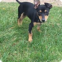 Adopt A Pet :: Alfie - Henderson, NV