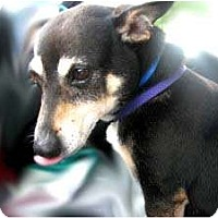 Rat Terrier/Miniature Pinscher Mix Dog for adoption in Snellville, Georgia - Mortie