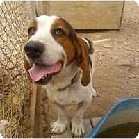 Basset Hound Dog for adoption in Acton, California - Lucky-Star